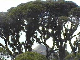 "Acacana through ""brocoli"" trees"
