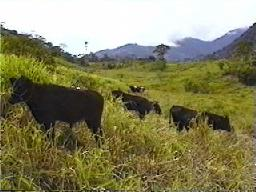 Cattle in Yacuambi pasture